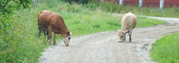 Des vaches sur une route en Roumanie